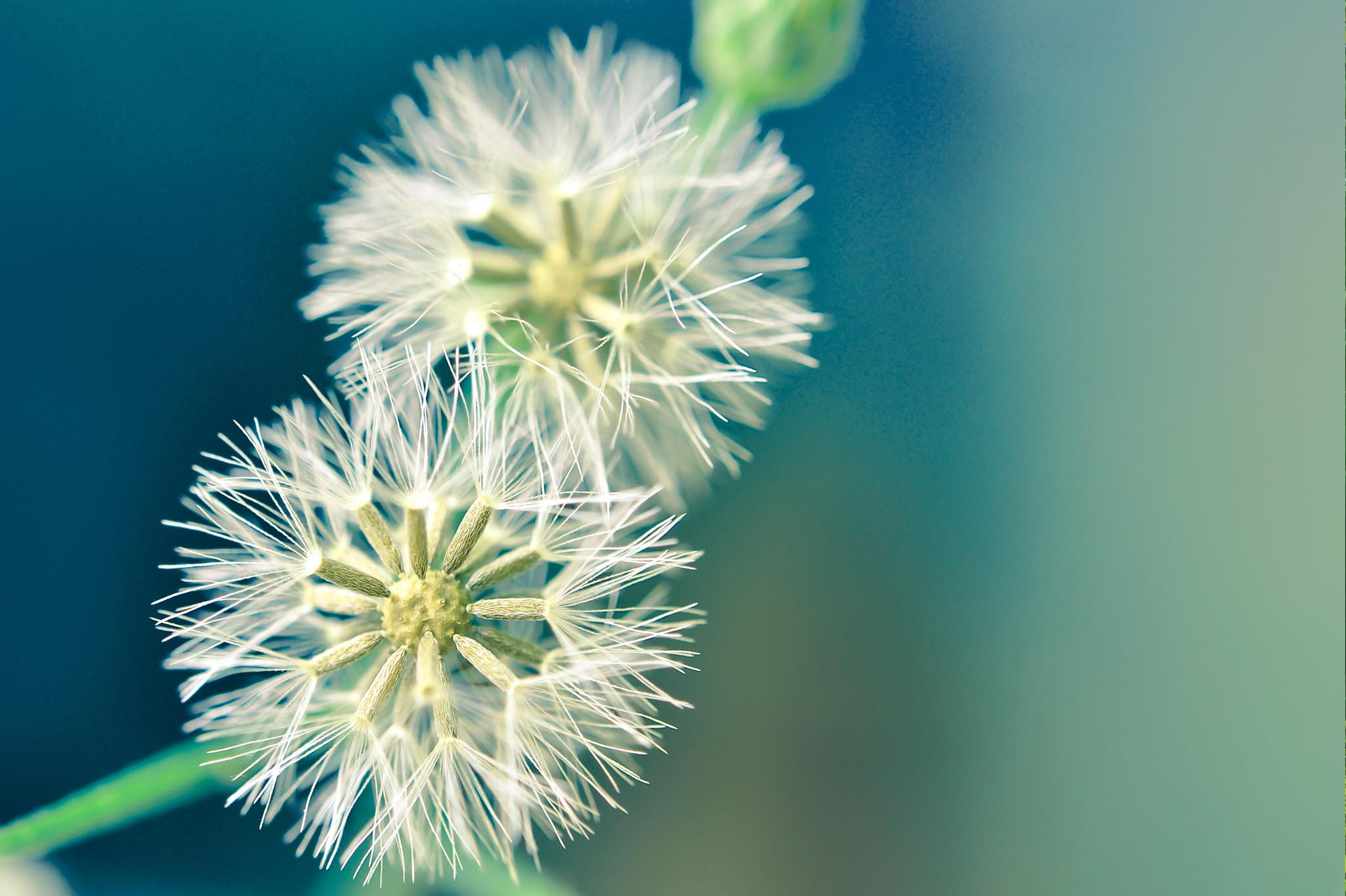background image of seeding dandelions
